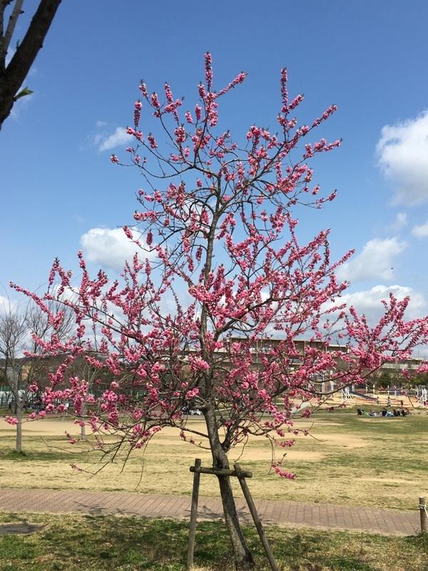 満開の桃の花2017