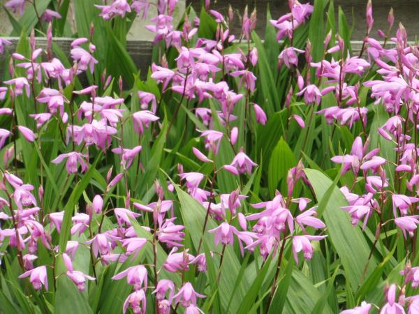 まいこ花壇・紫蘭