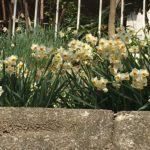 春が待ち遠しい~満開の水仙