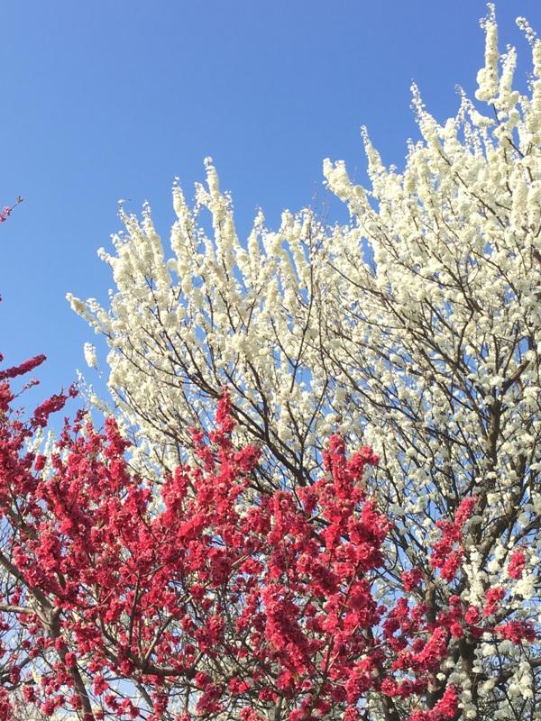 桃の花も満開です
