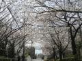 狩口台公園前桜のトンネル1