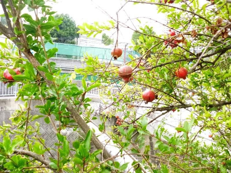 福田川のザクロ