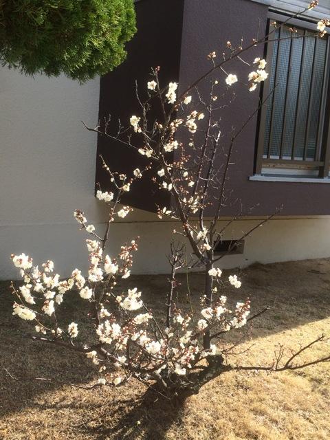 立春の白梅