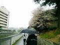 さくら 山田川