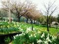 さくら 緑地公園1