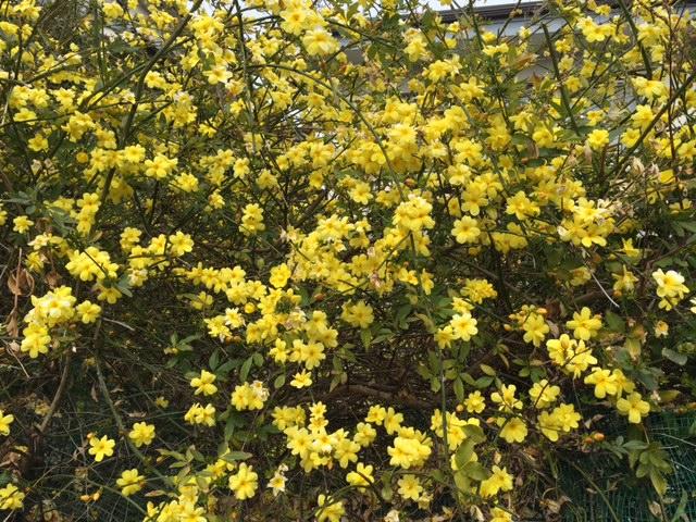 160313 黄色い花2