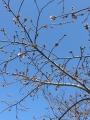 桜のつぼみ1