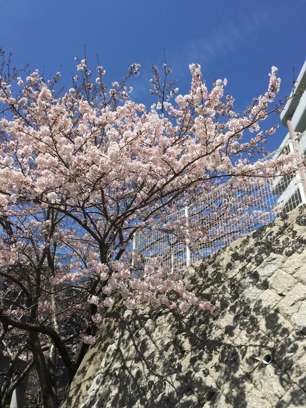 2016桜5