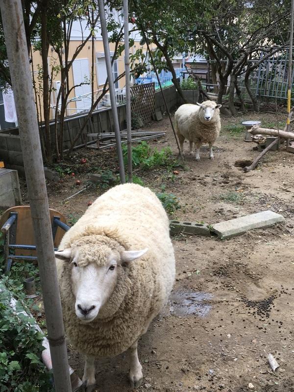 えっ こんなところに羊??