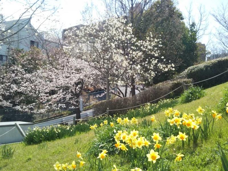 桜の満開は来週ですね。